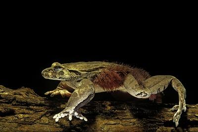 Trichobatrachus Robustus (Hairy Frog) Photographic Print by Paul Starosta