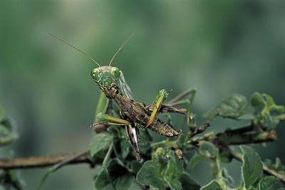 Mantis Religiosa (Praying Mantis) - Feeding on a Grasshopper Photographic Print by Paul Starosta