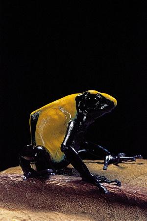 Dendrobates Tinctorius F. Citronella (Dyeing Poison Dart Frog) Photographic Print by Paul Starosta
