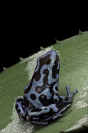 Dendrobates Auratus F. Blue (Green and Black Poison Dart Frog) Photographic Print by Paul Starosta