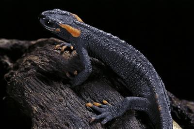 Tylototriton Taliangensis (Taliang Knobby Newt) Photographic Print by Paul Starosta