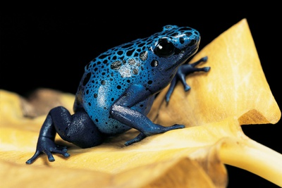 Dendrobates Azureus (Blue Poison Dart Frog) Photographic Print by Paul Starosta