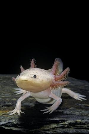 Ambystoma Mexicanum F. Leucistic (Axolotl) Photographic Print by Paul Starosta