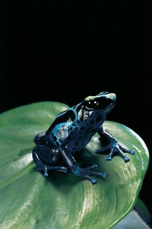 Dendrobates Tinctorius F. Agreja (Dyeing Poison Dart Frog) Photographic Print by Paul Starosta