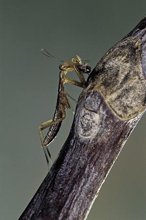 Mantis Religiosa (Praying Mantis) - Larva Eating on a Fly Photographic Print by Paul Starosta