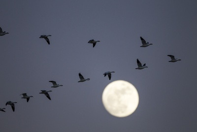 Snow Geese and Full Moon, New Mexico Photographic Print by Paul Souders