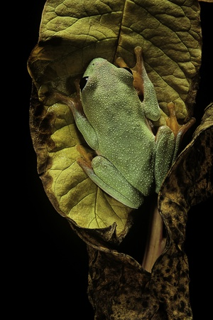Agalychnis Moreletii (Black-Eyed Tree Frog) Photographic Print by Paul Starosta