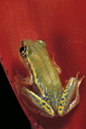 Heterixalus Betsileo (Betsileo Reed Frog) Photographic Print by Paul Starosta