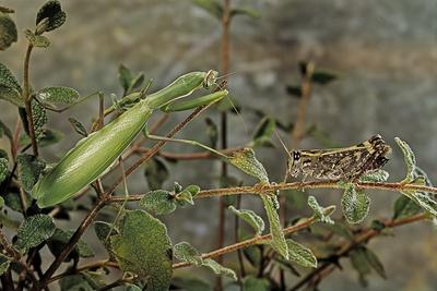 Mantis Religiosa (Praying Mantis) - Watching its Prey Photographic Print by Paul Starosta