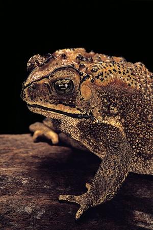 Duttaphrynus Melanostictus (Spectacled Toad) Photographic Print by Paul Starosta