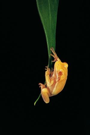 Hyla Cinerea Albino (American Green Tree Frog) Photographic Print by Paul Starosta