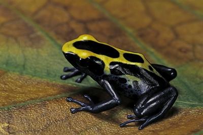 Dendrobates Tinctorius (Dyeing Poison Dart Frog) Photographic Print by Paul Starosta