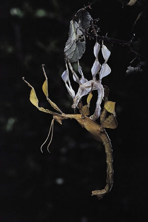 Extatosoma Tiaratum (Giant Prickly Stick Insect) - Emerging Photographic Print by Paul Starosta