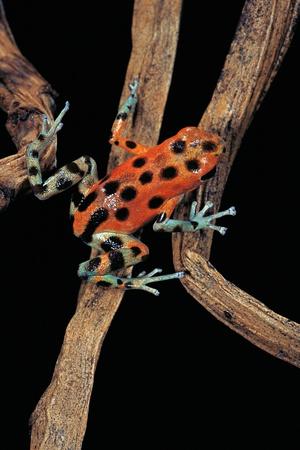 Oophaga Pumilio F. Bastimentos (Strawberry Poison-Dart Frog) Photographic Print by Paul Starosta