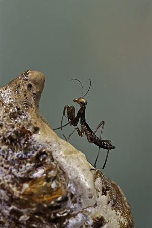 Mantis Religiosa (Praying Mantis) - Very Young Larva on its Egg Case Photographic Print by Paul Starosta