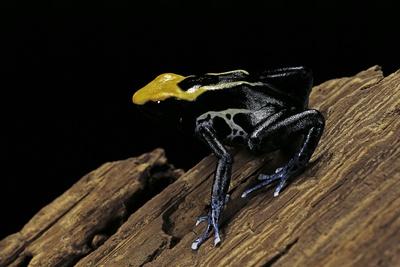 Dendrobates Tinctorius F. Brazil (Dyeing Poison Dart Frog) Photographic Print by Paul Starosta
