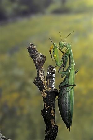 Mantis Religiosa (Praying Mantis) - Female Ready to Lay Photographic Print by Paul Starosta