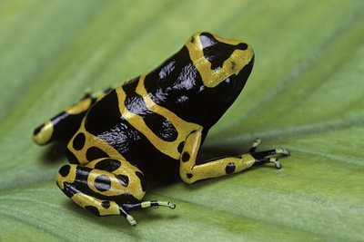 Dendrobates Leucomelas (Yellow-Banded Poison Dart Frog) Photographic Print by Paul Starosta