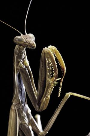 Mantis Religiosa (Praying Mantis) - Photographic Print by Paul Starosta