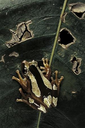 Afrixalus Dorsalis (Brown Banana Frog) Photographic Print by Paul Starosta