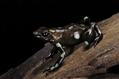Dendrobates Auratus F. Tobago (Green and Black Poison Dart Frog) Photographic Print by Paul Starosta