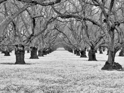 Old Walnut Orchard Photographic Print by Dennis Frates