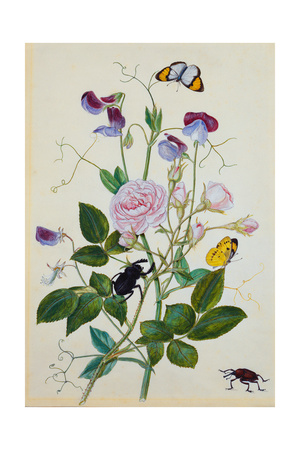 Galica Rose and Perennial Sweet Pea, Weevil, a Beetle and Butterflies Giclee Print by Thomas Waterman Wood