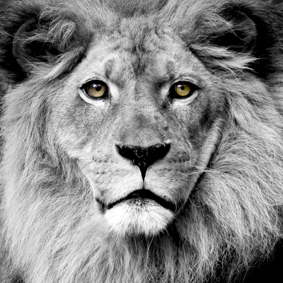Lion Fotografie-Druck