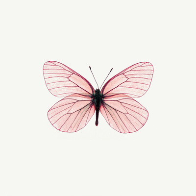 Pink Butterfly Photographic Print by  PhotoINC