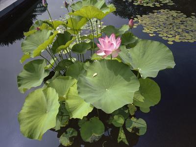 Lotus Blossom Brooklyn Botanic Gardens - Lily Pond Lotus Plant Metal Print by Henri Silberman