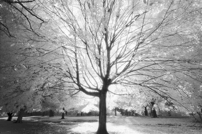 Prospect Park Infrared Tree - Brooklyn Park in Fall Wall Decal by Henri Silberman