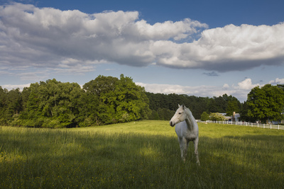 White Horse in Field with White Clouds Wall Decal by Henri Silberman