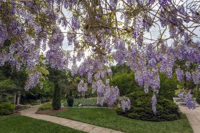 Purple Wisteria, Duke Gardens Vinilo decorativo por Henri Silberman