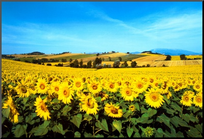 Sunflowers Field, Umbria Mounted Print by Philip Enticknap