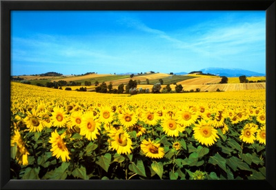Sunflowers Field, Umbria Poster by Philip Enticknap