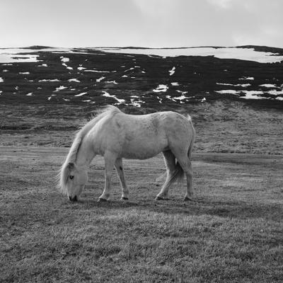 Portrait of Icelandic Horse in Black and White Photographic Print by Aleksandar Mijatovic