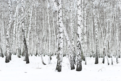 Winter Forest Photographic Print by  rufar