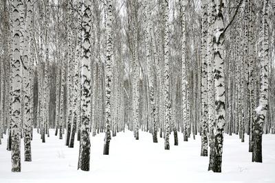 Winter Birch Forest Photographic Print by Elena Kovaleva
