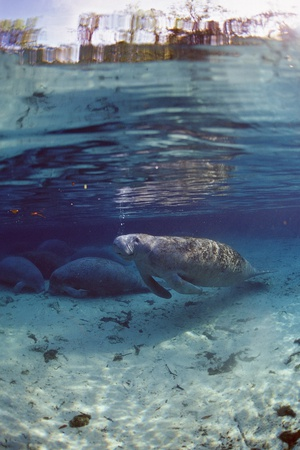 Florida Manatee (Trichechus Manatus Latirostris), Everglades, Florida, USA Photographic Print by Reinhard Dirscherl