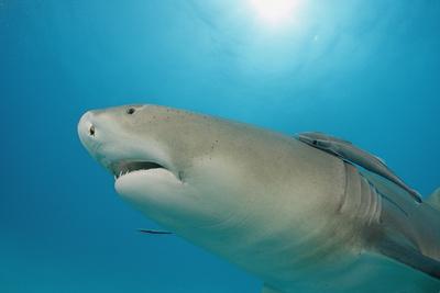 Lemon Shark, Negaprion Brevirostris, Bahamas, Grand Bahama Island, Atlantic Ocean Photographic Print by Reinhard Dirscherl