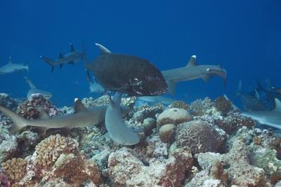 Whitetip Reef Sharks (Triaenodon Obesus) and Giant Trevally (Caranx Ignobilis) Hunting Together Ove Photographic Print by Reinhard Dirscherl