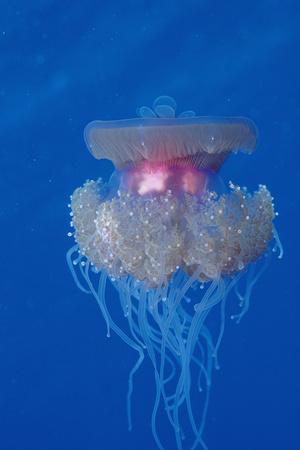 Crown Jellyfish (Netrostoma Setouchina), Red Sea, Egypt. Photographic Print by Reinhard Dirscherl