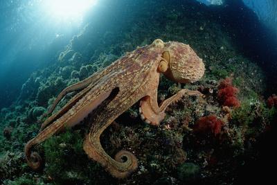 Octopus (Octopus Vulgaris) Photographic Print by Reinhard Dirscherl