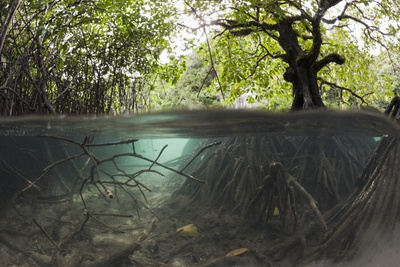 Split Image of Mangroves and their Extensive Underwater Prop Root System Photographic Print by Reinhard Dirscherl