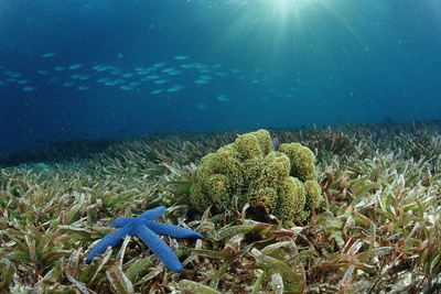 Blue Starfish (Linckia), Corals, and Sea Grass, Indonesia, Sulawesi, Indian Ocean. Photographic Print by Reinhard Dirscherl