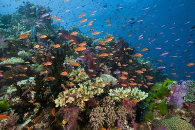 Lyretail Anthias (Pseudanthias Squamipinnis) in Coral Reef Photographic Print by Reinhard Dirscherl
