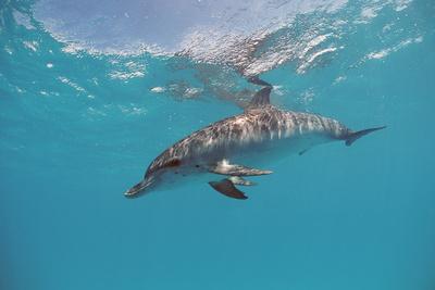 Atlantic Spotted Dolphin, Stenella Frontalis, Usa, Fl, Florida, Atlantic Ocean Photographic Print by Reinhard Dirscherl