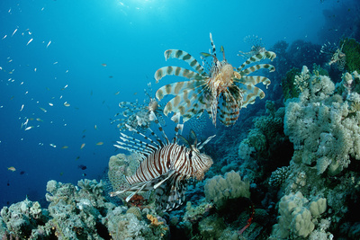 Lionfishes or Turkeyfishes near a Coral Reef (Pterois Volitans), Indian Ocean. Photographic Print by Reinhard Dirscherl