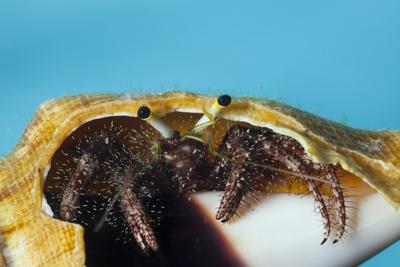 Hermit Crab in a Shell (Dardanus Megistos) Photographic Print by Reinhard Dirscherl
