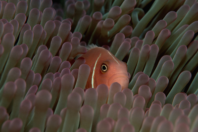 Pink Anemonefish (Amphiprion Perideraion) in a Sea Anemone, Pacific Ocean. Photographic Print by Reinhard Dirscherl